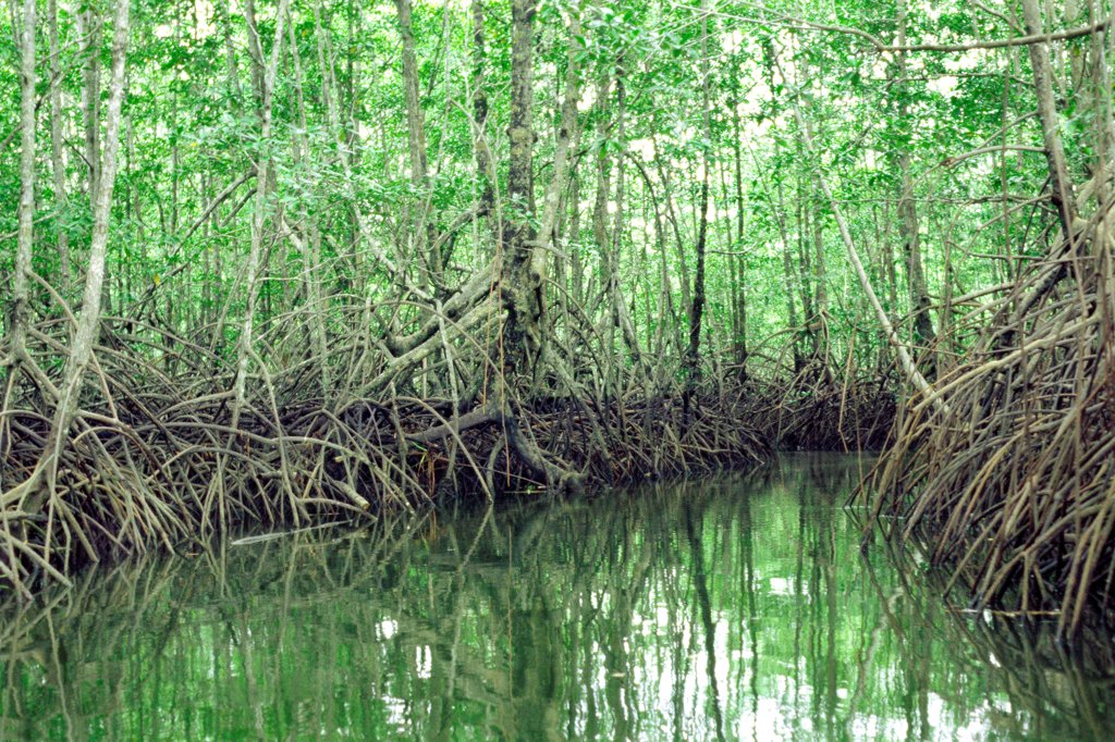 Stock Photo: 4413-37795 Black and American mangrove in Sierpe-Terraba mangrove