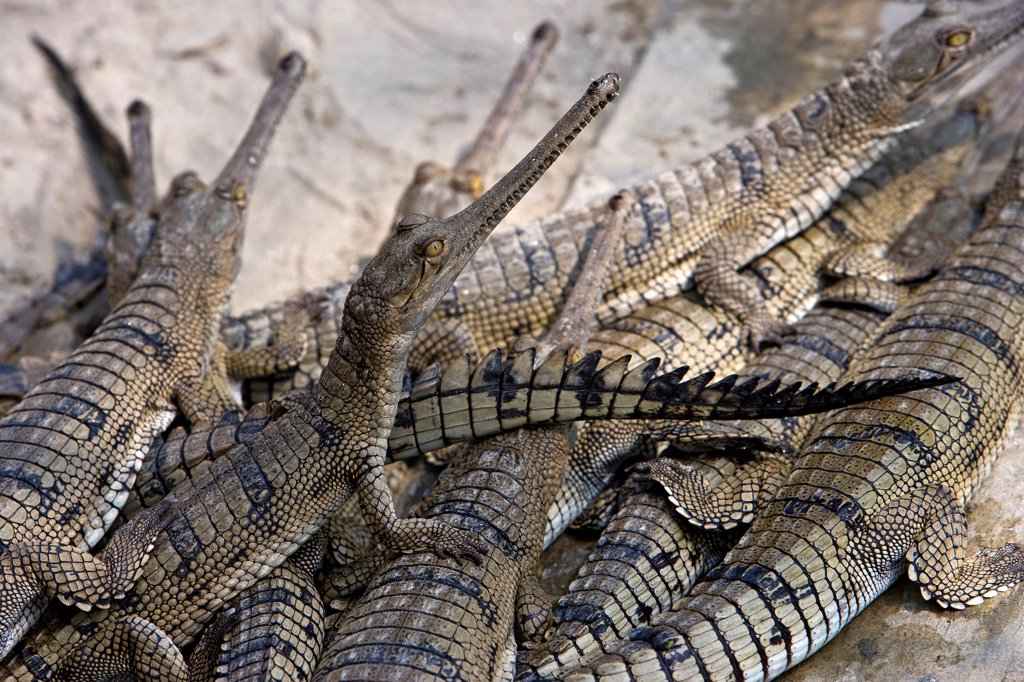 Stock Photo: 4413-38169 Group of youngs Gharials in Lucknow breeding center India
