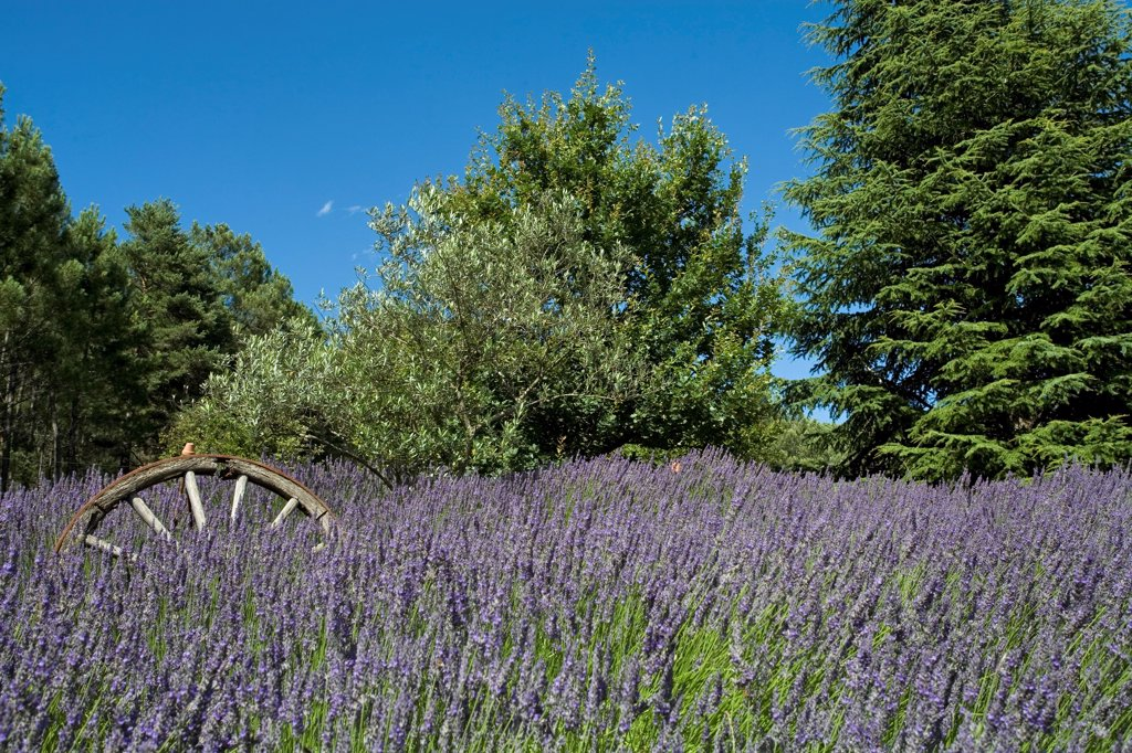 Stock Photo: 4413-38261 Lavender field at Jardin Le Mas de l'Abri in Gard France