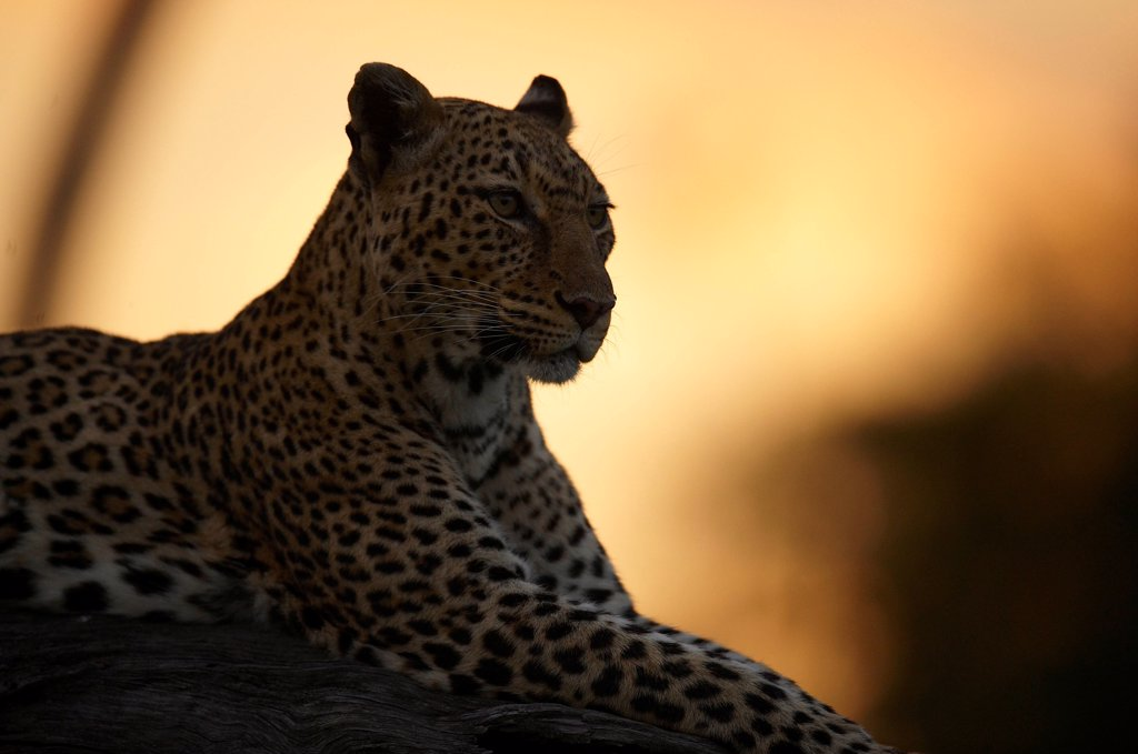 Stock Photo: 4413-40290 Leopard at sunset Masai Mara Reserve Kenya