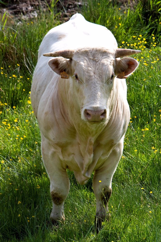 Portrait of a Cow race 'Charolais' Charolais France : Stock Photo