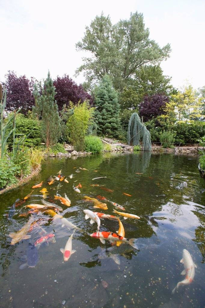 Garden pound with koi carps : Stock Photo