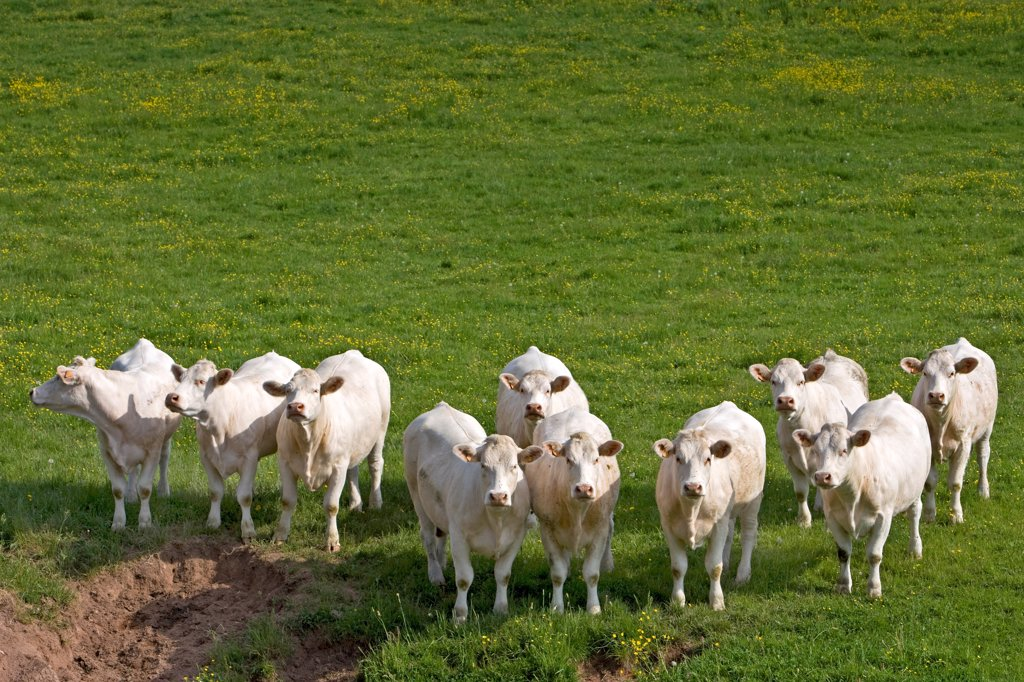 Herd of Cows race 'Charolaise' Charolais France : Stock Photo