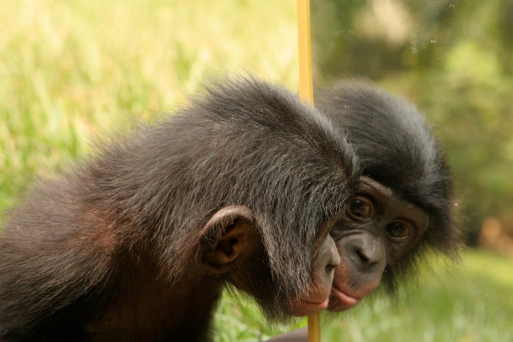 Stock Photo: 4413-42033 Bonobo in front of a mirror