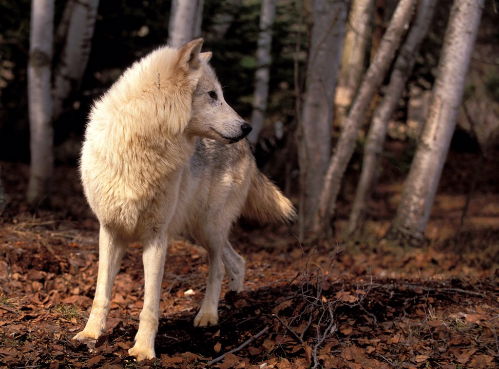 Wolf going in the forest by observing something the USA : Stock Photo