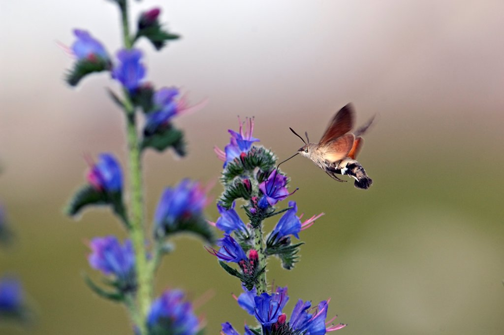 Olive Bee Hawk moth gathering nectar from blueweed France : Stock Photo