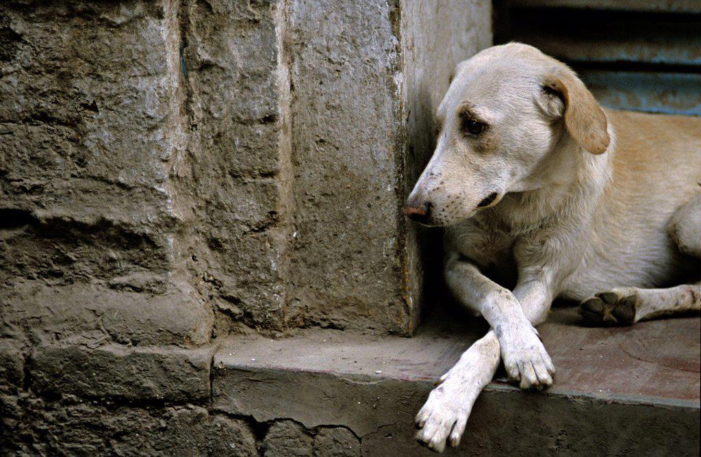 Dog lying on the step of a door Vârânaçî India : Stock Photo