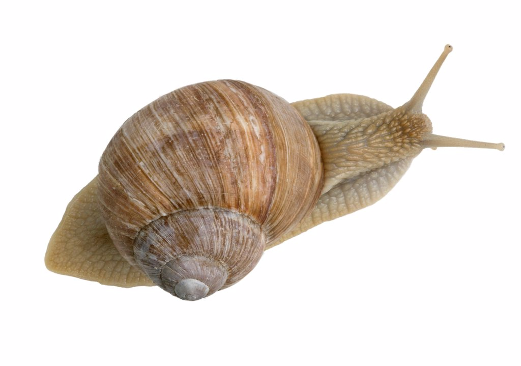 Stock Photo: 4413-5175 Top shot of Burgundy Snail