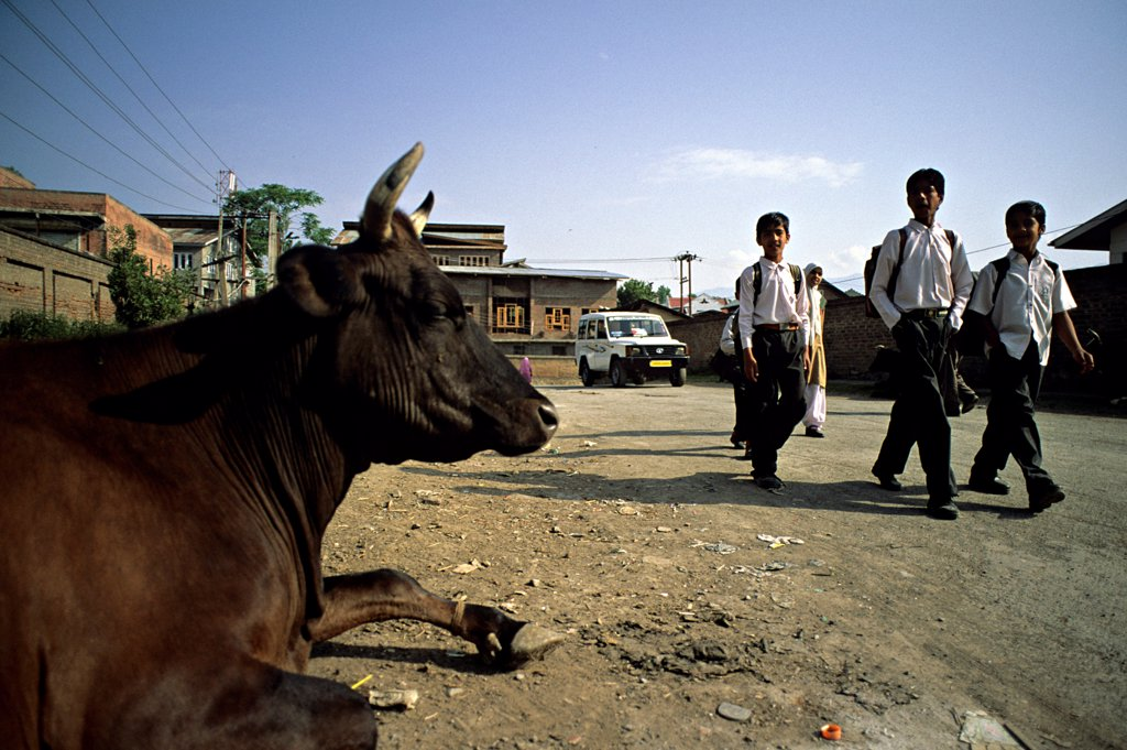 Stock Photo: 4413-51859 Holly cow and school boys in the streets of Srinagar Inde
