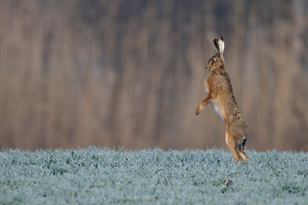 Stock Photo: 4413-52897 Brown hare standing on meadow and looks around Germany