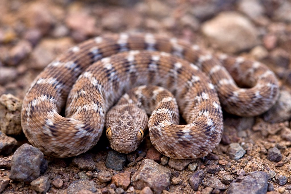 Stock Photo: 4413-53585 Young Viper on the ground at Lake Baringo Kenya