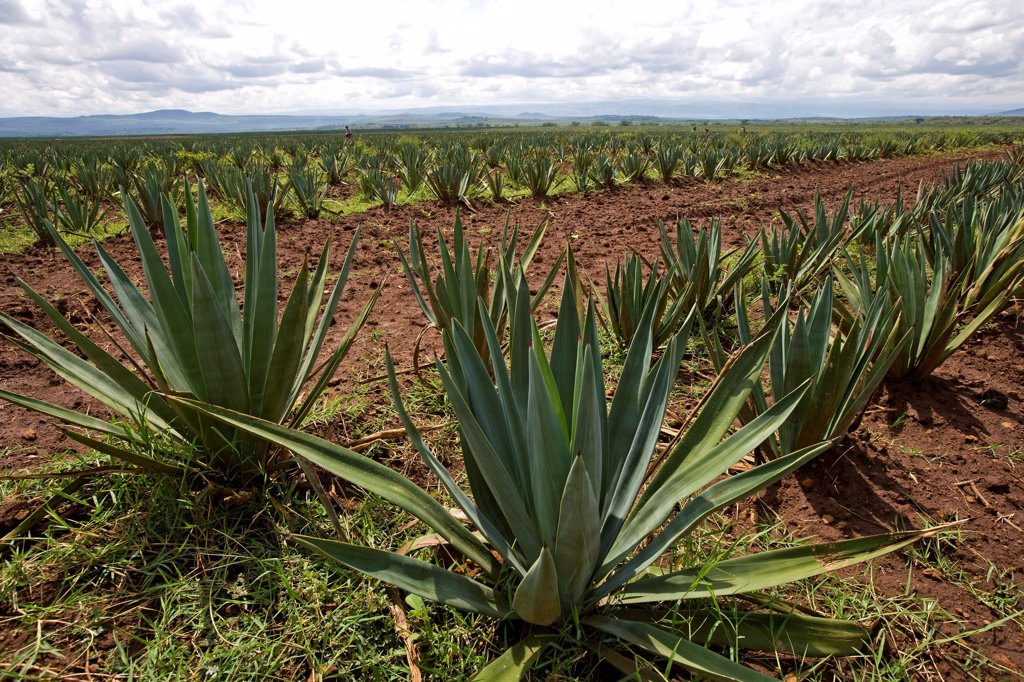 Field of Agaves in Kenya : Stock Photo