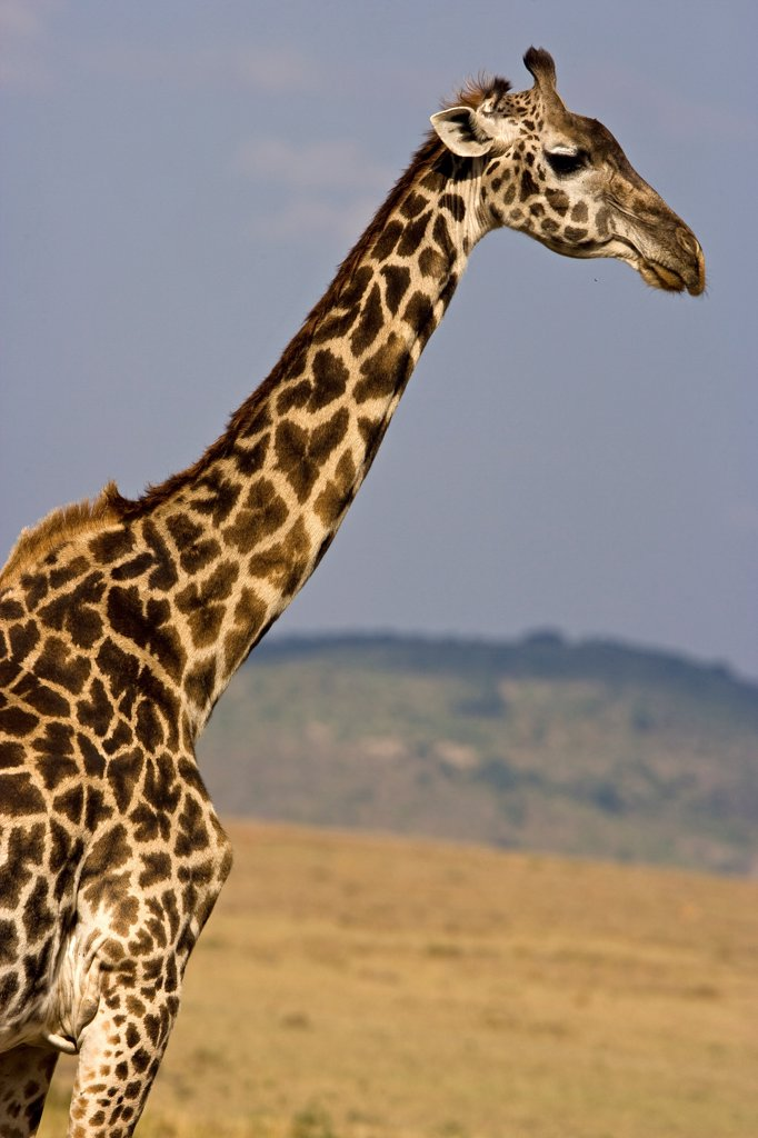 Stock Photo: 4413-53725 Portrait of a Masai Giraffe in the Savanna Masai Mara Kenya