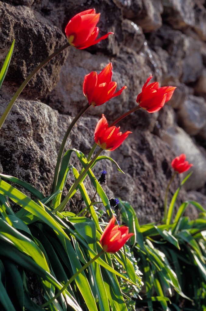 Tulips in a stones wall Vaucluse France : Stock Photo