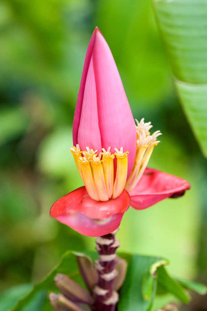 Ornemental banana tree in a garden of Martinique Island : Stock Photo