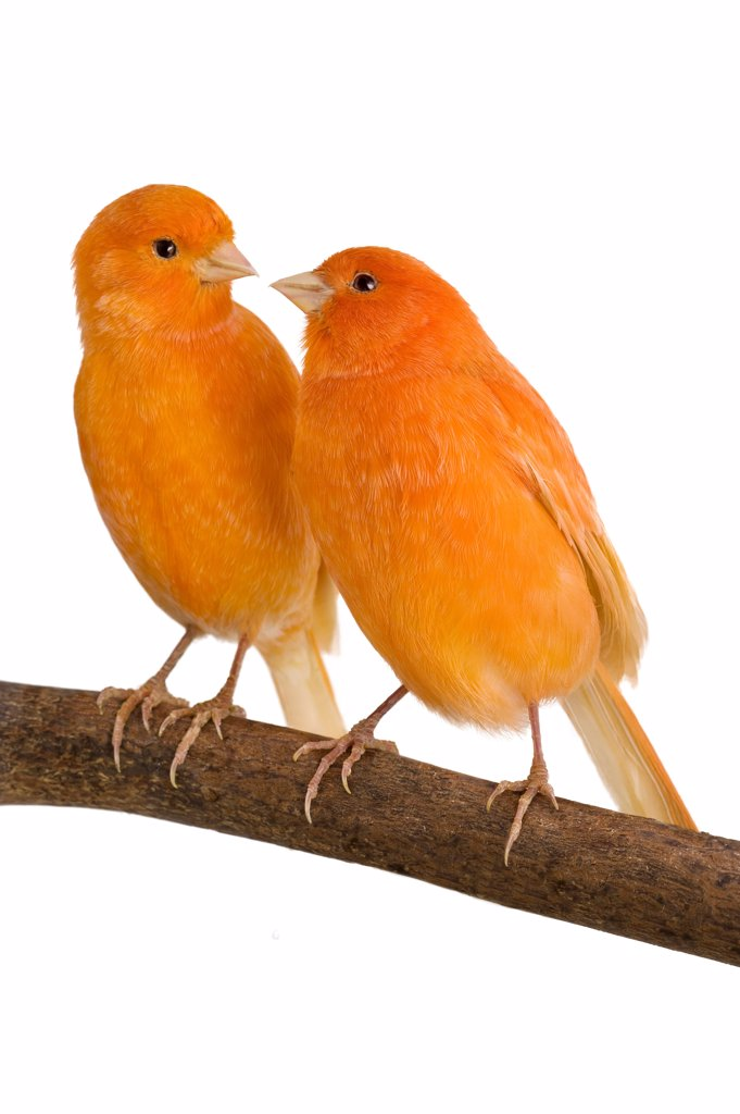 Stock Photo: 4413-54653 Couple Canary orange on a branch
