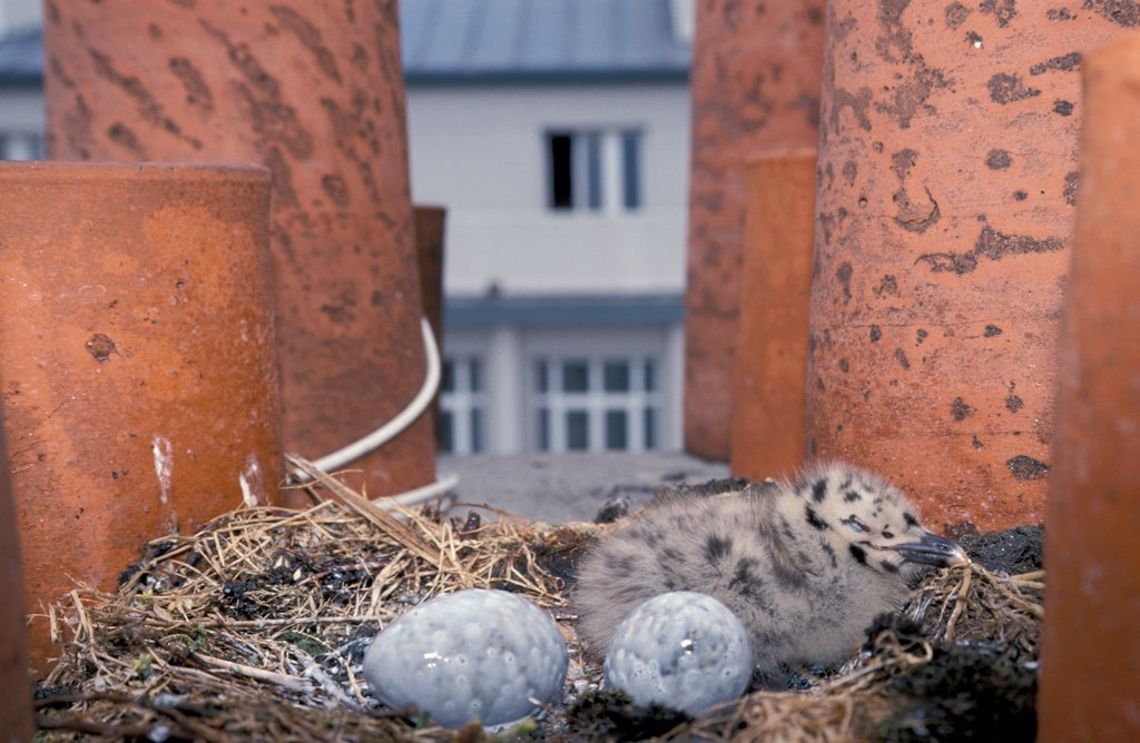 Stock Photo: 4413-5471 Chick and sterilized eggs of Herring Gull Brest France
