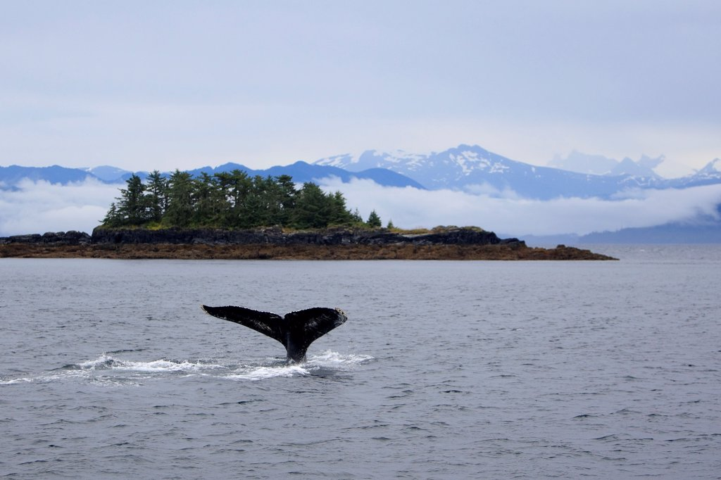 Stock Photo: 4413-57208 Tail fin of a Humpback whale Alaska
