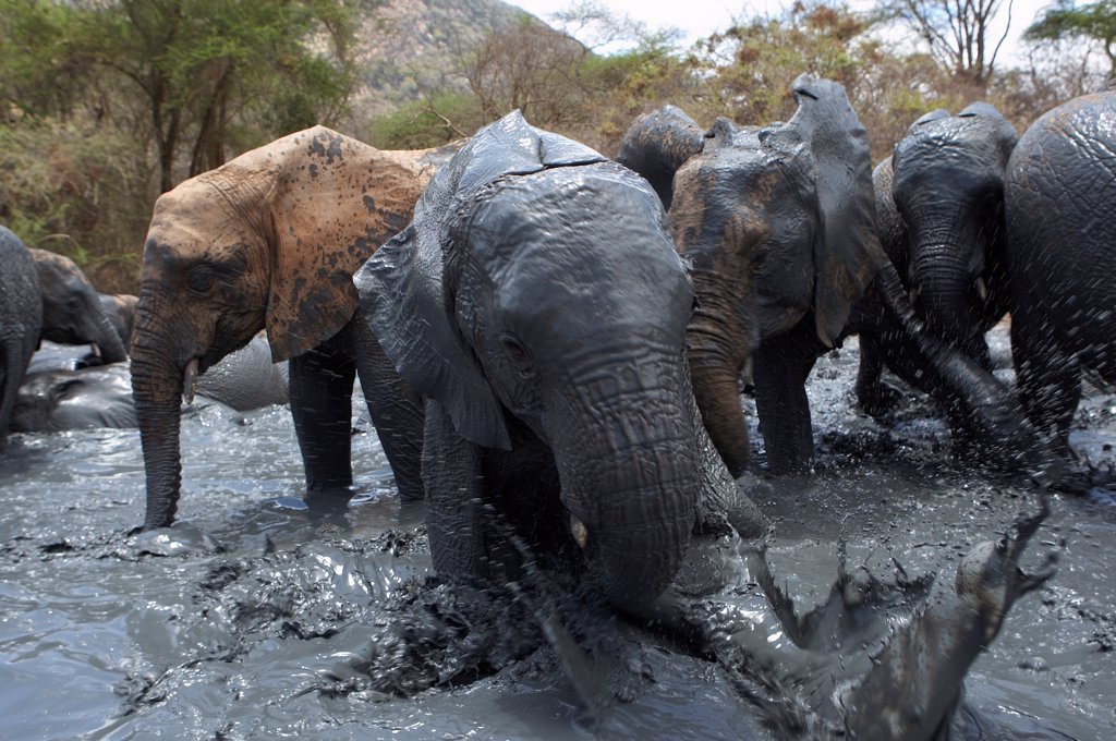 Young African Elephants playing in the mud Tsavo Kenya : Stock Photo