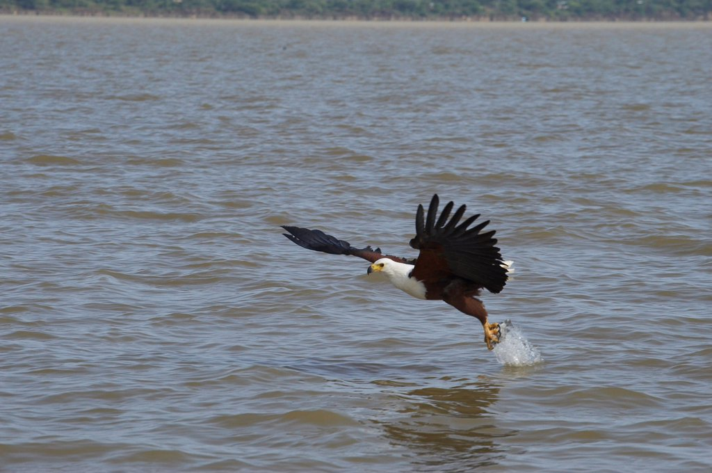 Stock Photo: 4413-61315 African Fish Eagle fishing Lake Baringo Kenya