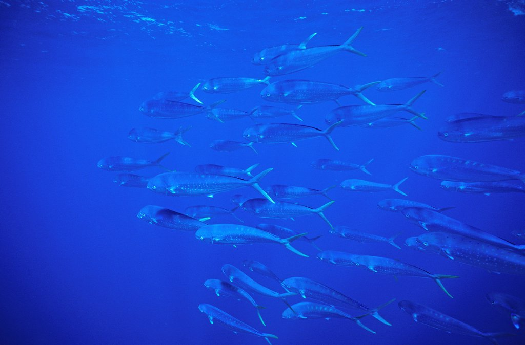 School of Dolphin Fishes swimming in the Azores Portugal : Stock Photo