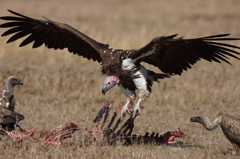Lappet-faced and White-backed Vultures Masai Mara Kenya : Stock Photo