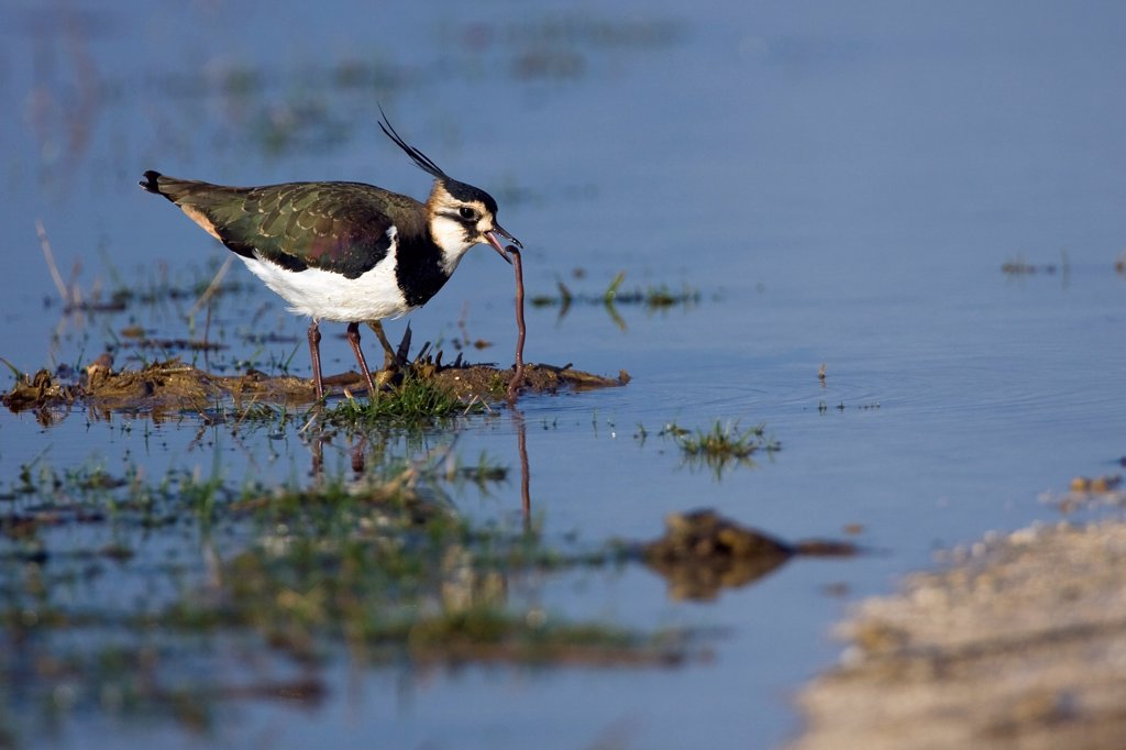 Northern Lapwing catching a worm Marne France : Stock Photo