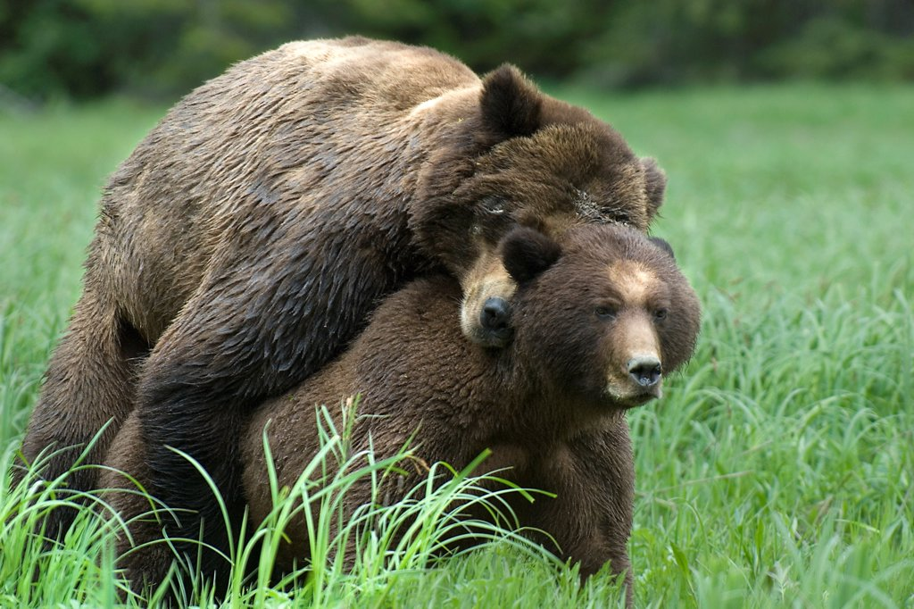 Stock Photo: 4413-64483 Mating Grizzlys Khutzeymateen Grizzly Bear Sanctuary Canada