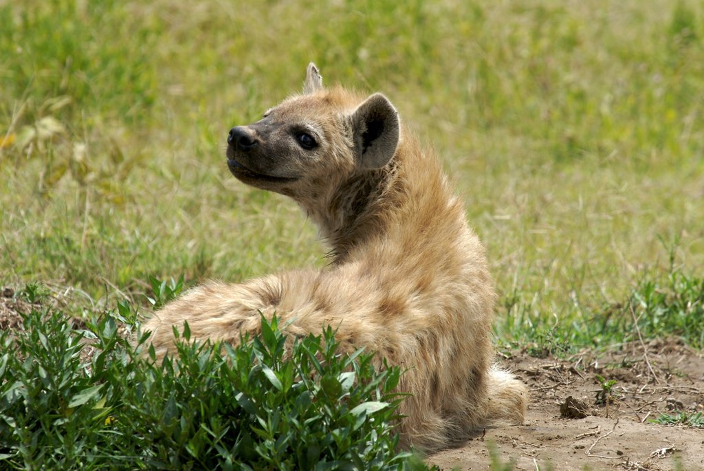 Stock Photo: 4413-64570 Careful speckled hyena resting Serengeti NP Tanzania