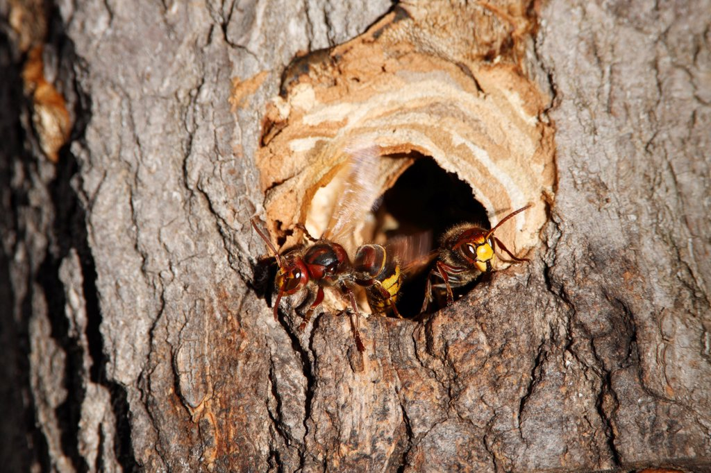 European hornet ventilating its nest in a trunk France : Stock Photo