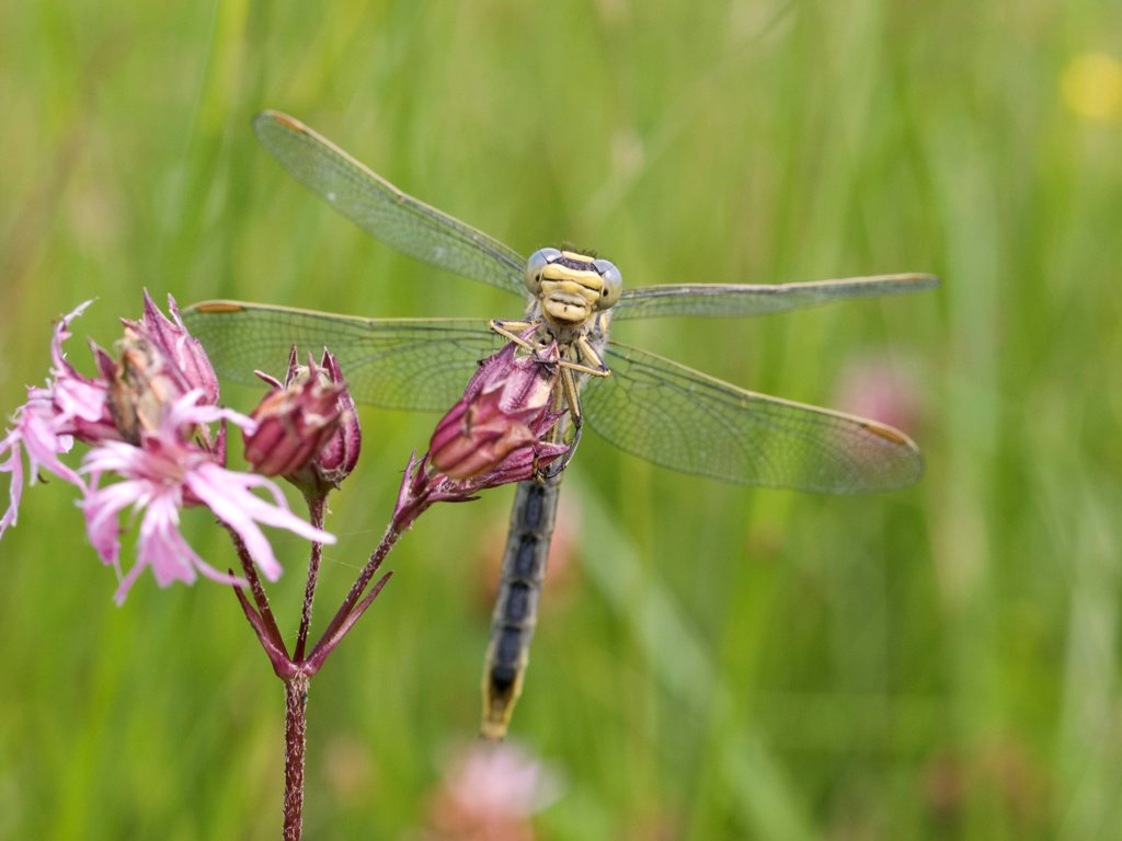 Stock Photo: 4413-66648 Yellow-legged Clubtail on a Ragged Robin flower Vosges