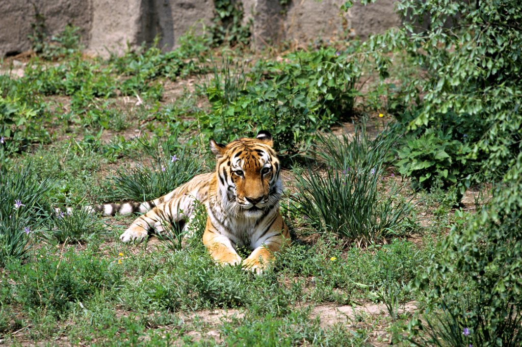 Stock Photo: 4413-6688 South China Tiger in captivity in the Zoo of Beijing China