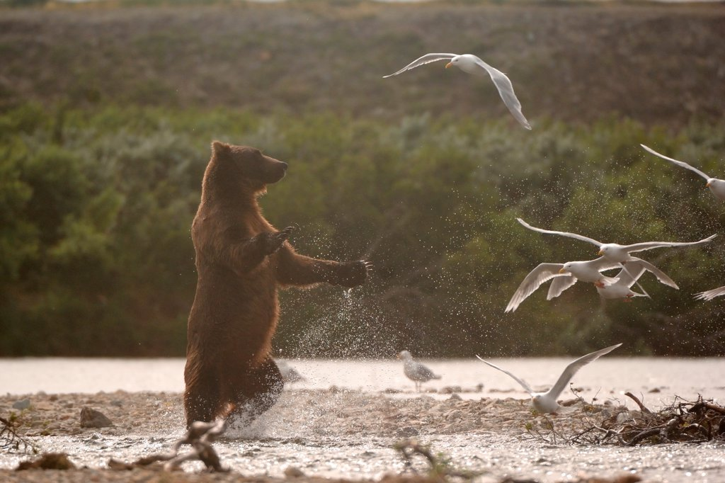 Grizzly hunting Gulls from a salmon river KatmaiAlaska : Stock Photo