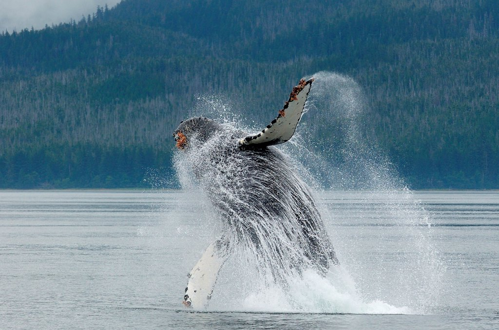 Stock Photo: 4413-67220 Humpback whale jumping out of water Alaska USA