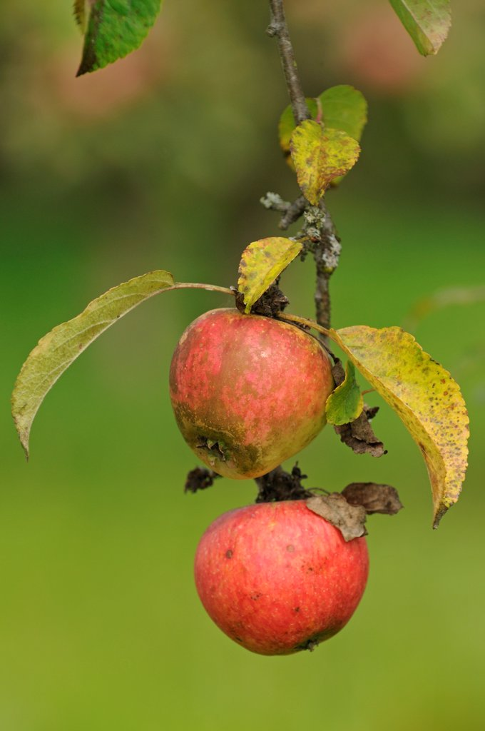 Stock Photo: 4413-67996 Apples 'Rayotte de Nommay' in an orchard in autumn
