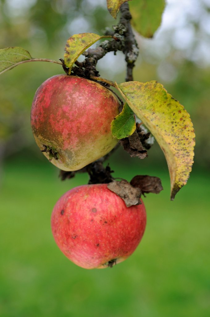 Apples 'Rayotte de Nommay' in an orchard in autumn : Stock Photo