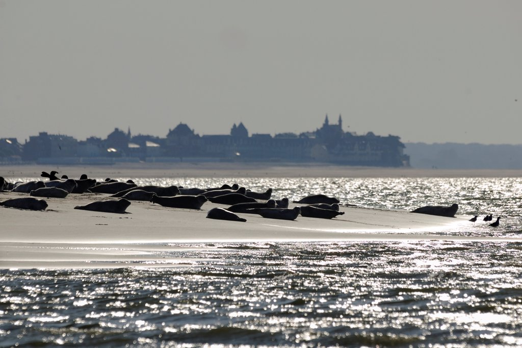 Stock Photo: 4413-68020 Seals in the Bay of Somme on beach