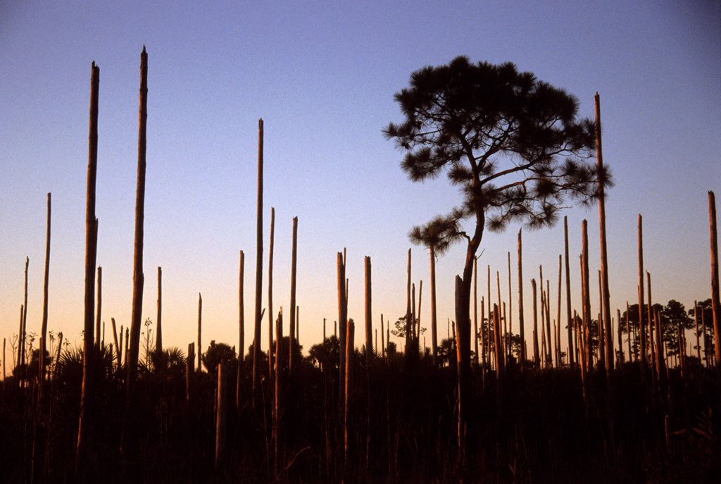 Stock Photo: 4413-68380 Pine forest after the passage of a tornado Florida USA