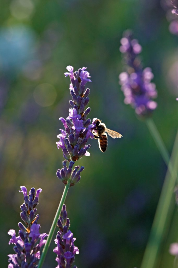 Bee gathering nectar of a fine lavender in a garden : Stock Photo