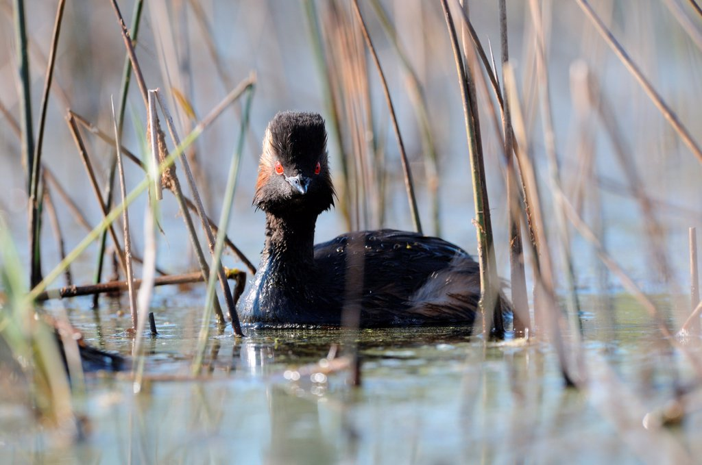 Stock Photo: 4413-73592 Black-necked Grebe swimming in a Reed bed Sologne France