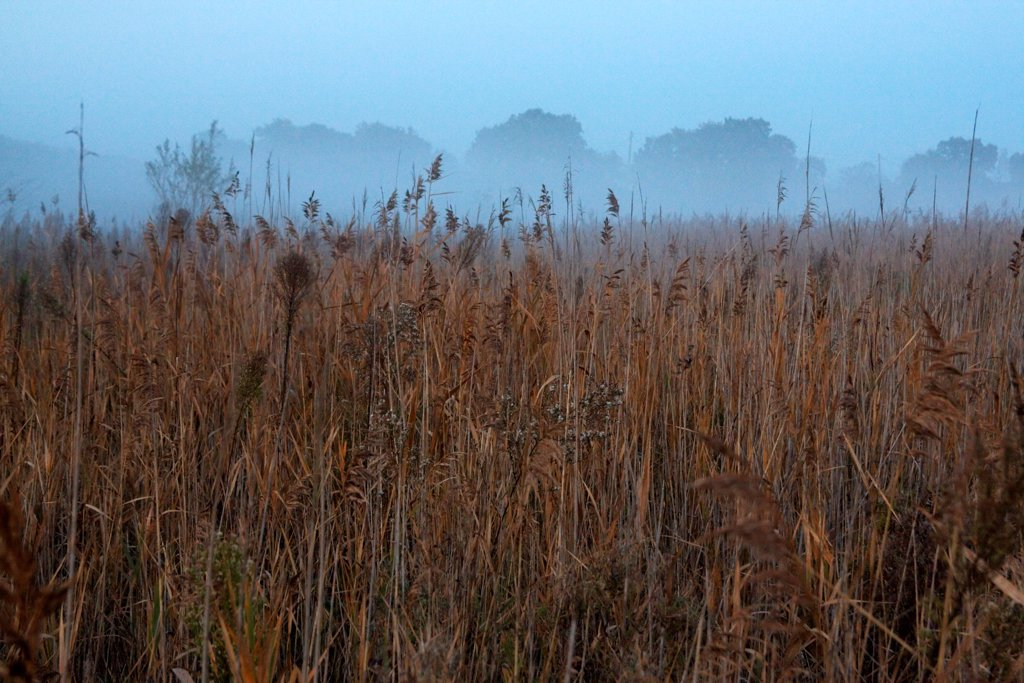 Stems of common reeds in the pond Courthézon Vaucluse : Stock Photo