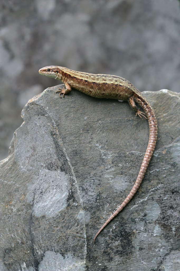 Stock Photo: 4413-74578 Common Lizard on rock Dorset England