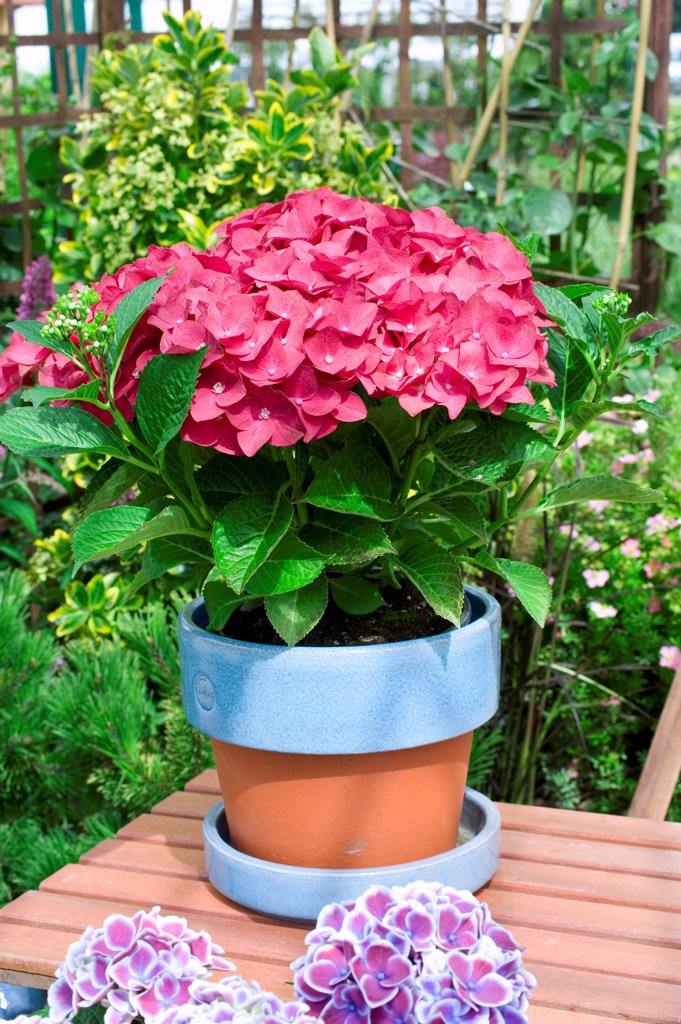 Stock Photo: 4413-74611 Hydrangea 'Red Beauty Violet' in bloom on a garden terrace