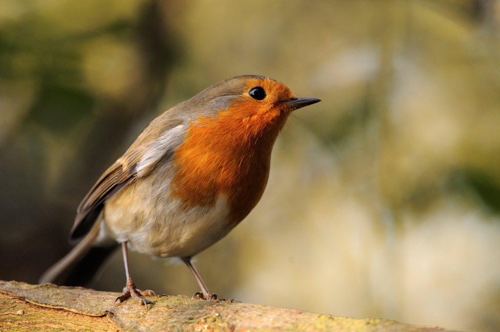 Stock Photo: 4413-74655 An European Robin landed on a branch