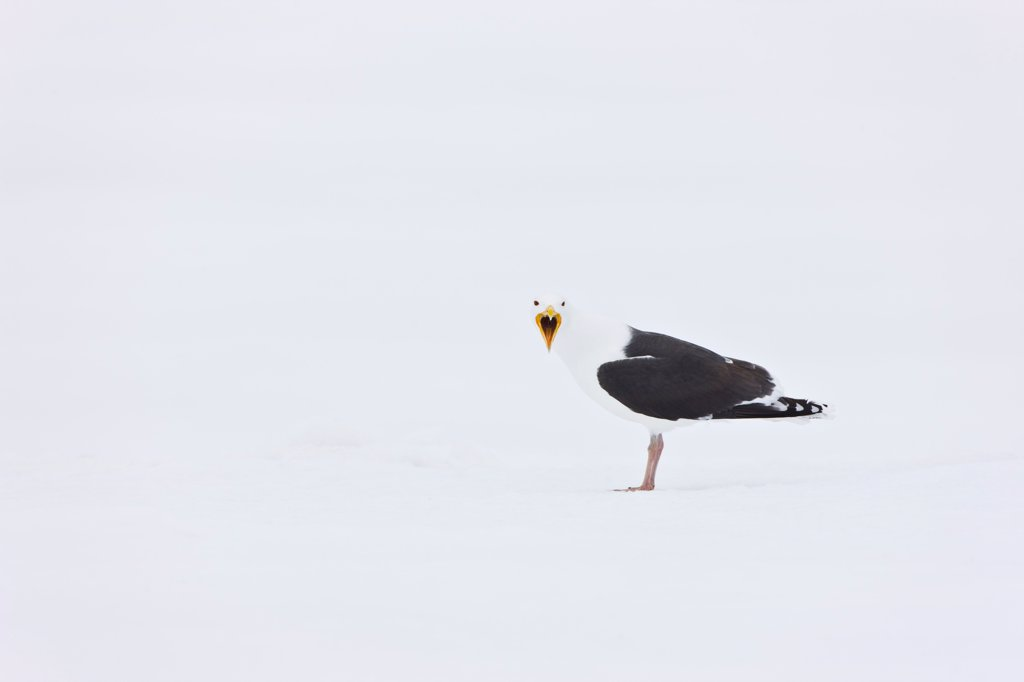Stock Photo: 4413-75298 Great Black-backed Gull crying in the snow Scandinavia