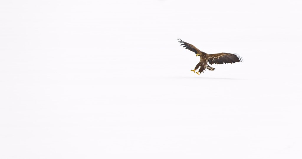 Stock Photo: 4413-75312 White-tailed Eagle landing on snow Scandinavia