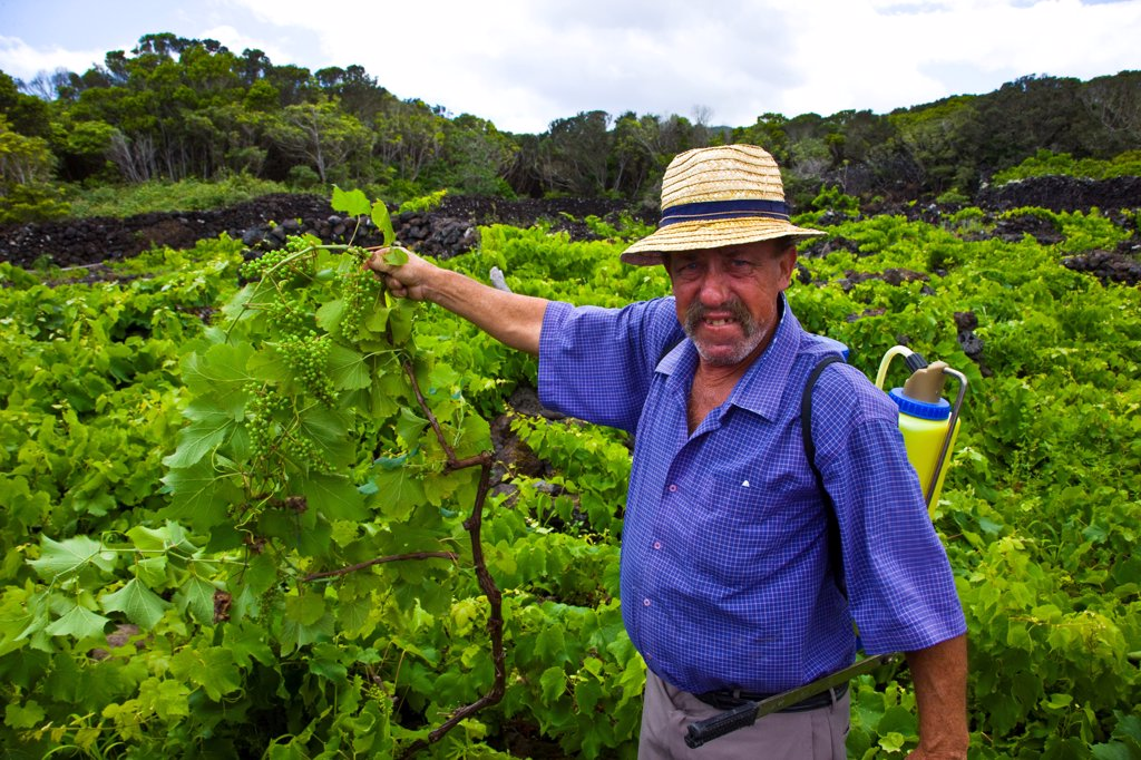 Landscape of the Pico Island Vineyard Culture Azores : Stock Photo