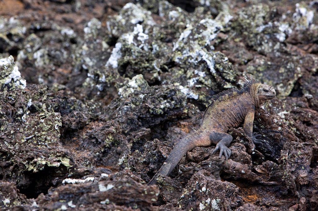 Stock Photo: 4413-75451 Galapagos Marine Iguana on a lava field Galapagos island
