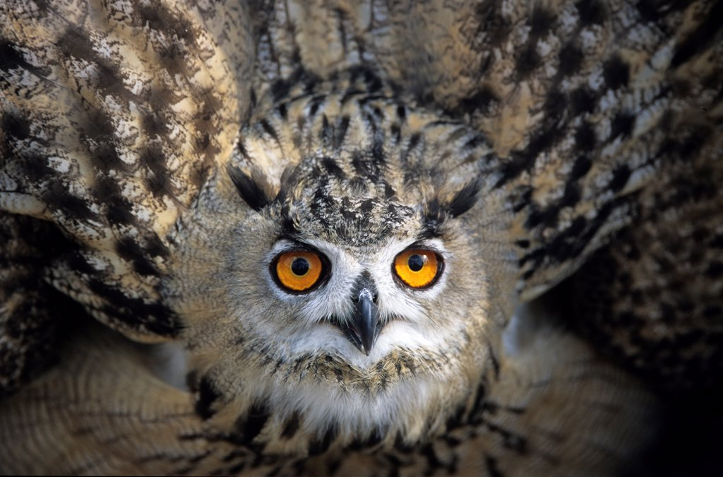 Eagle Owl in posture of intimidation France : Stock Photo