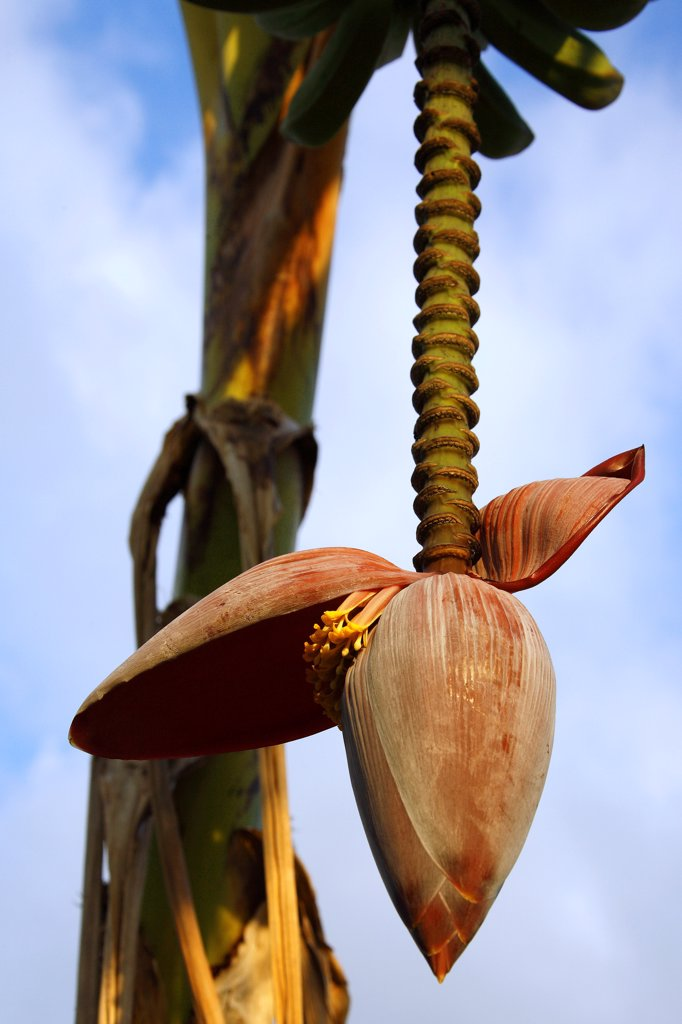 Stock Photo: 4413-76456 Button and banana flower Mayotte